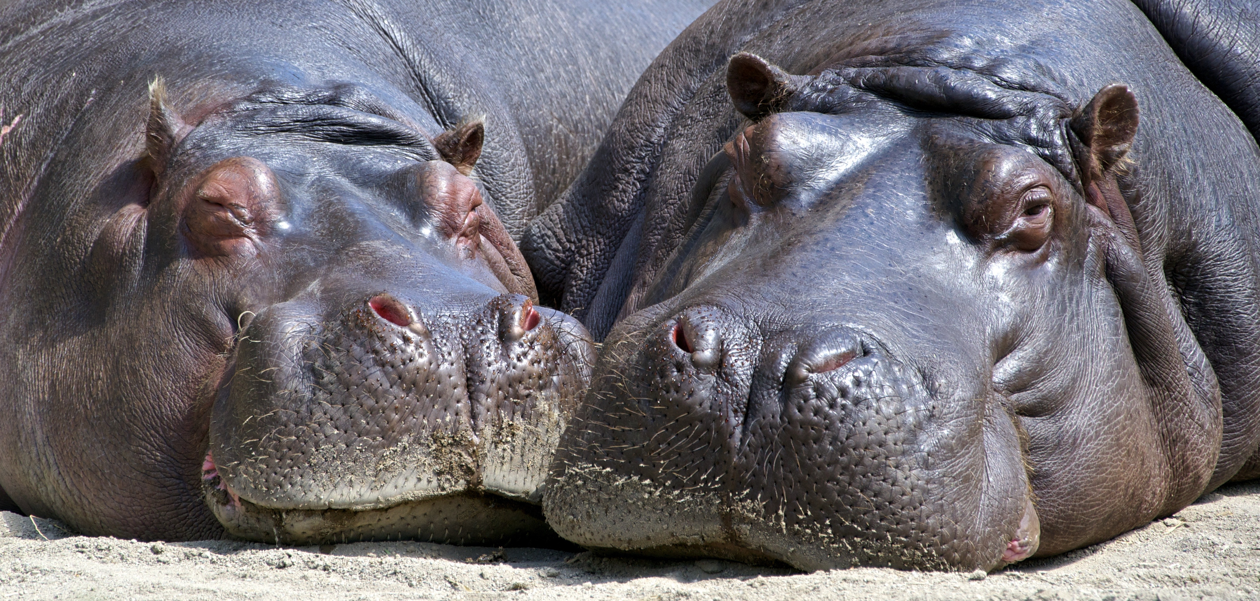 hippo-mammal-wildlife-nature