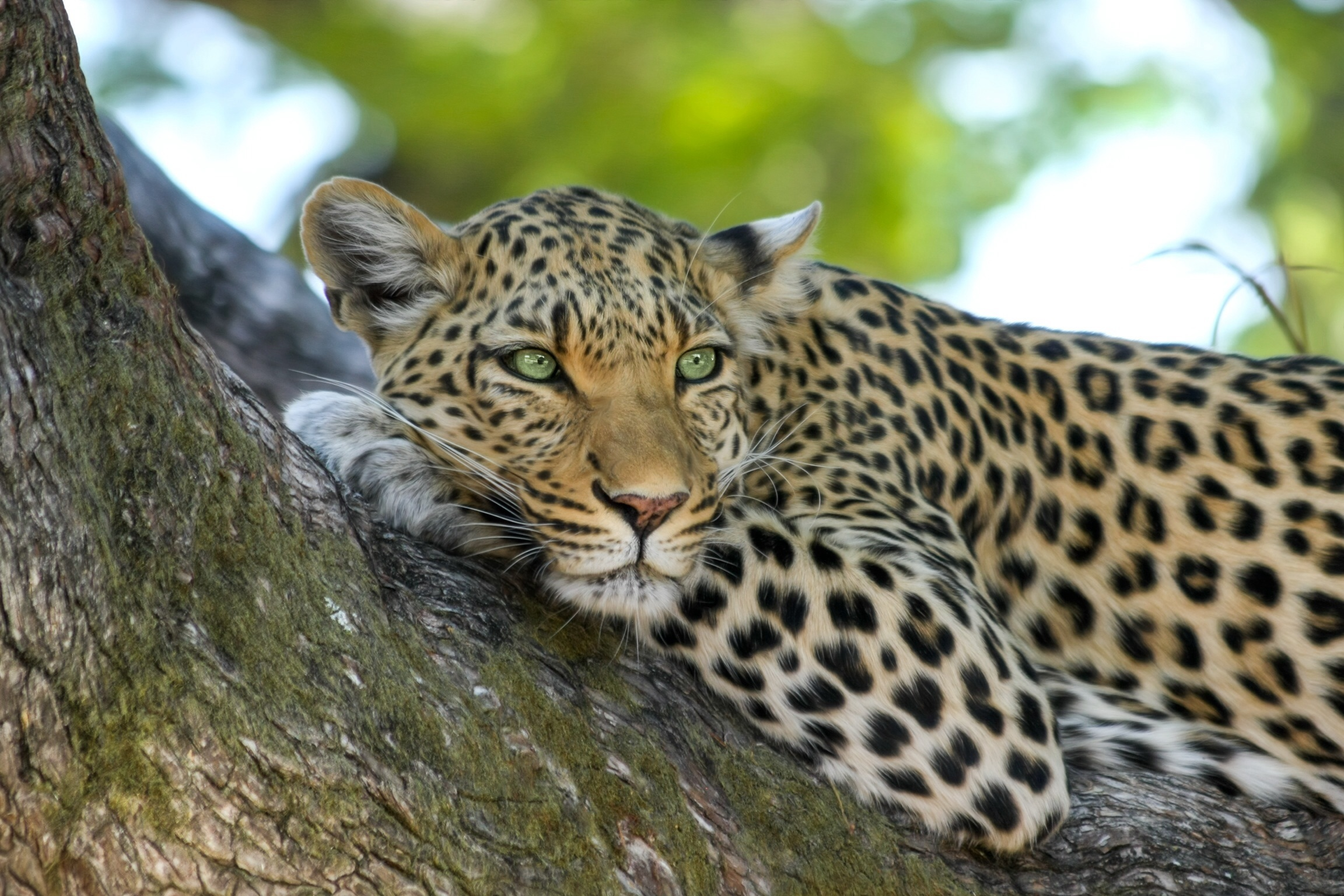 leopard-wildcat-big-cat-botswana-46254