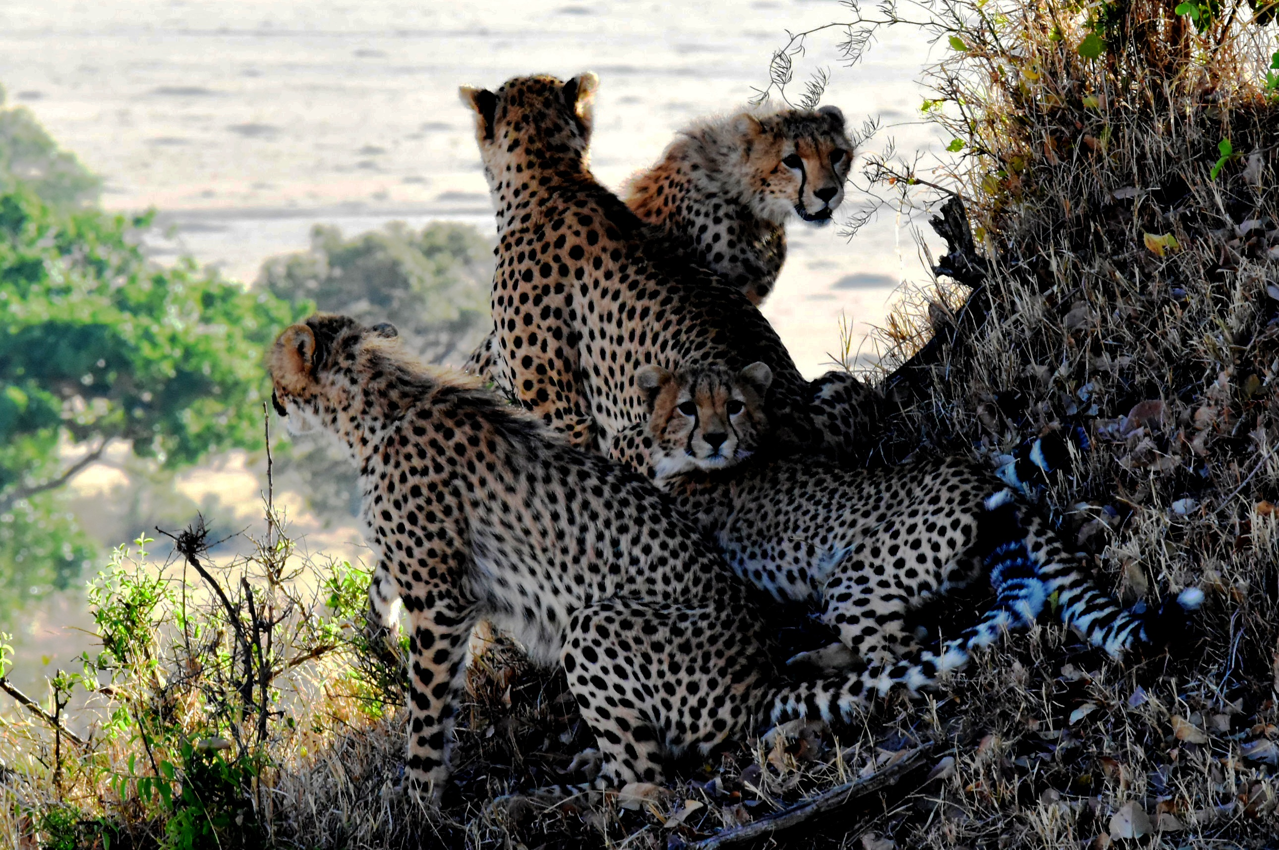 leopards-family-animals-tanzania-160459